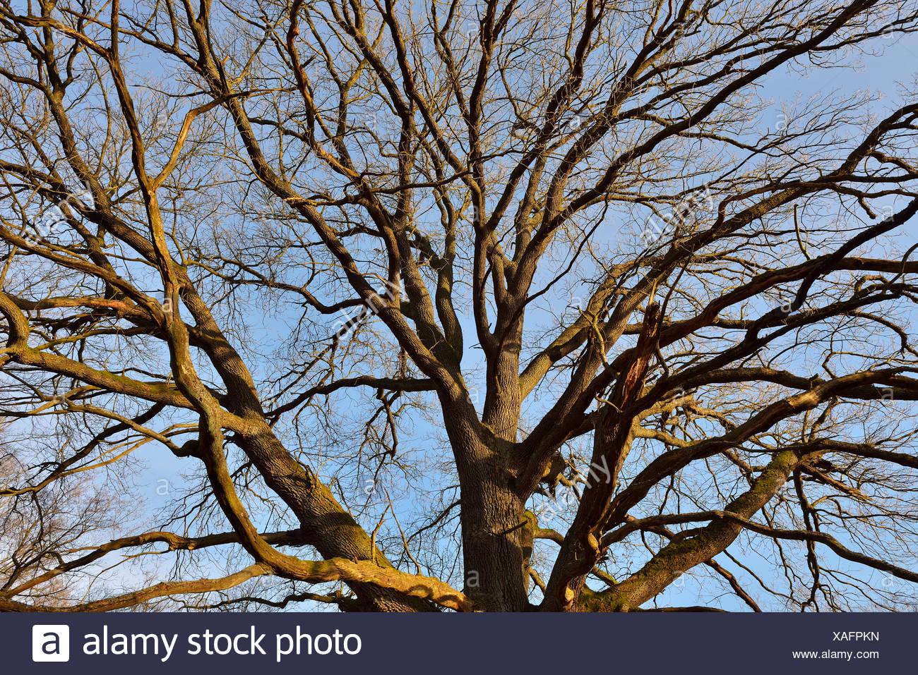 Oak Tree in early Spring, Urwald Sababurg, Hofgeismar, Reinhardswald, Hesse, Germany - Stock Image