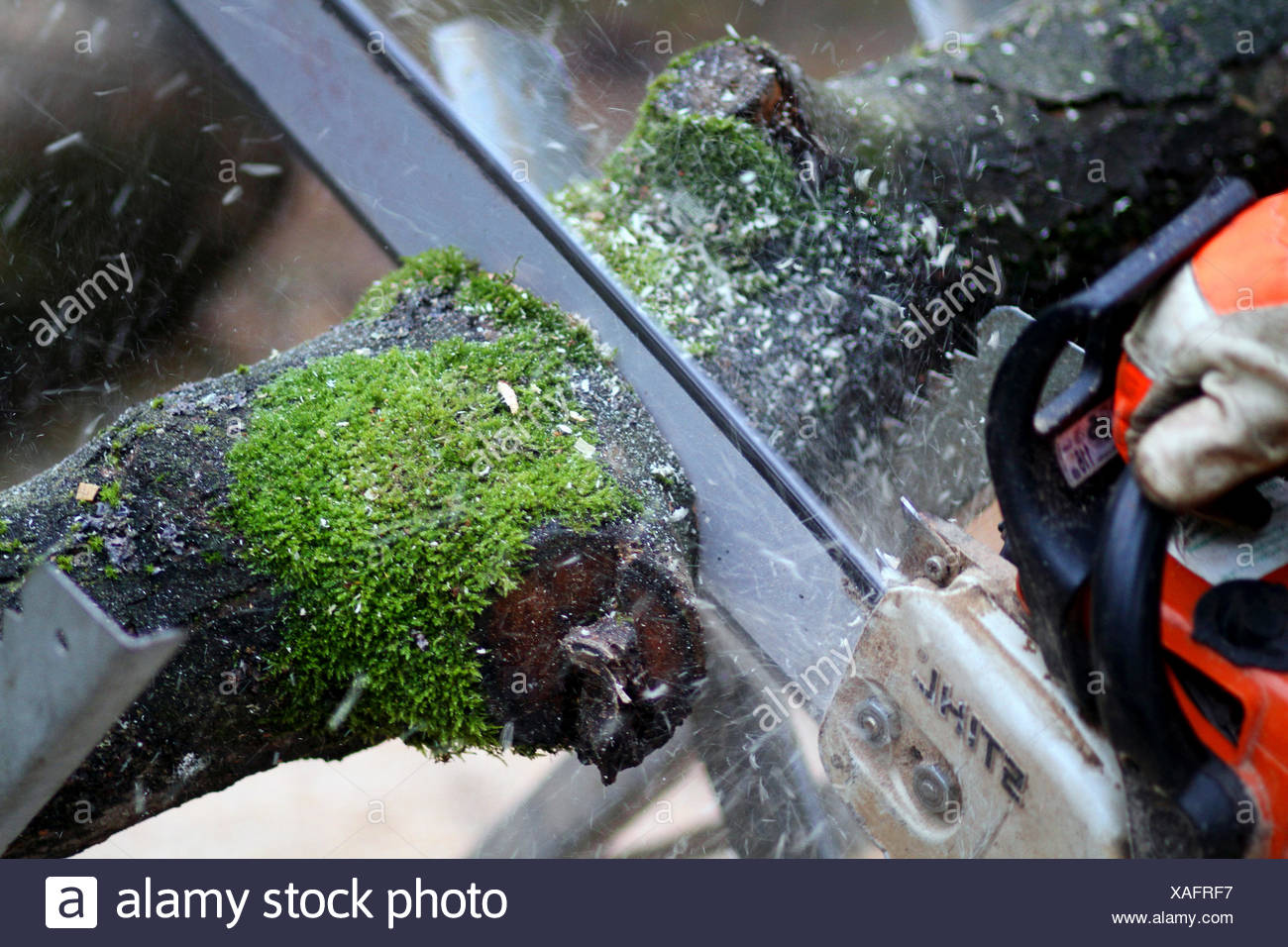 sawing through a tree trunk by chain saw, Germany Stock Photo