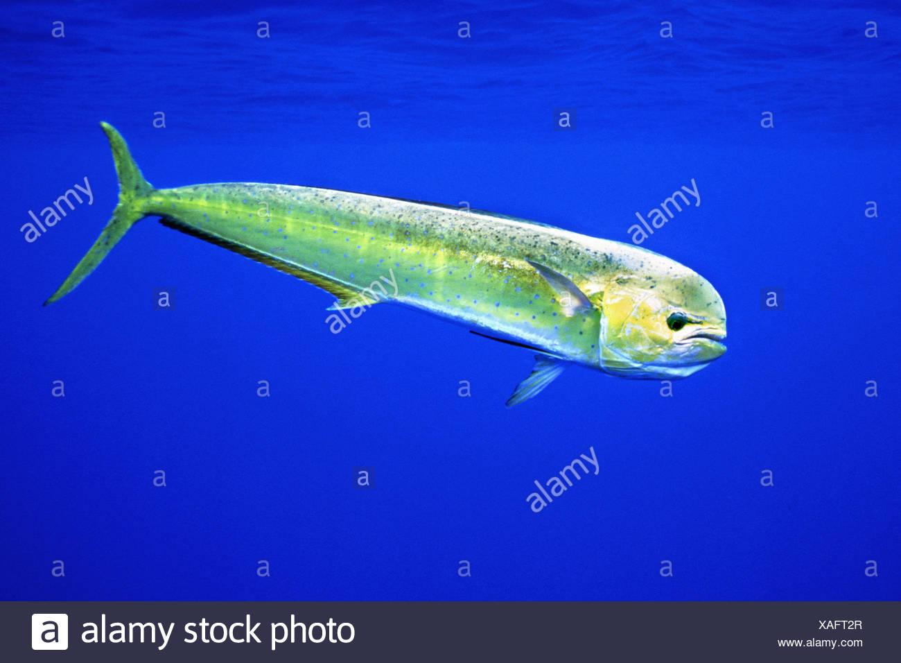 Mahi Mahi Dolphin Fish | Mahi Mahi Dolphin Fish Or Dorado Coryphaena Hippurus Female Kona