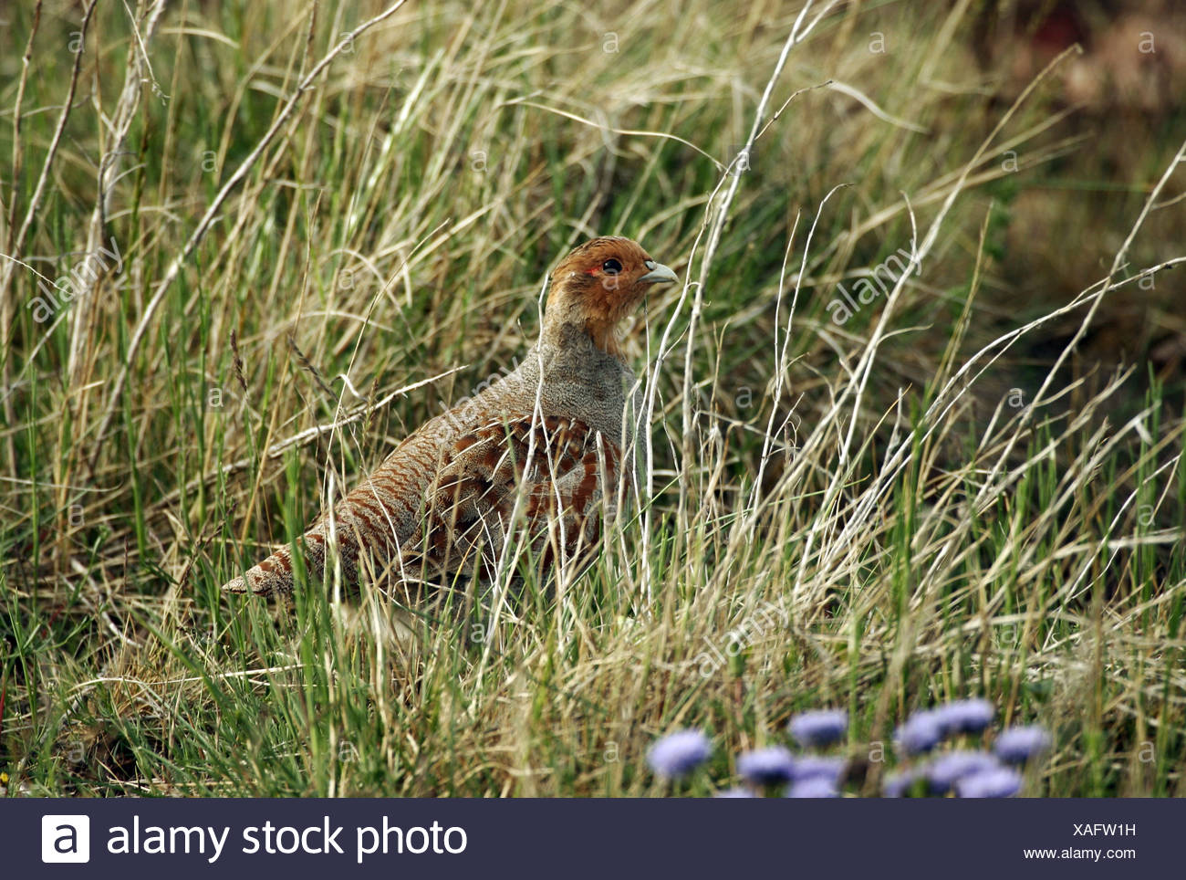 zoology / animals, avian / bird, Phasianidae, Grey Partridge (Perdix perdix), standing in meadow, Oeland, Sweden, distribution: Europe, Asia, Additional-Rights-Clearance-Info-Not-Available - Stock Image