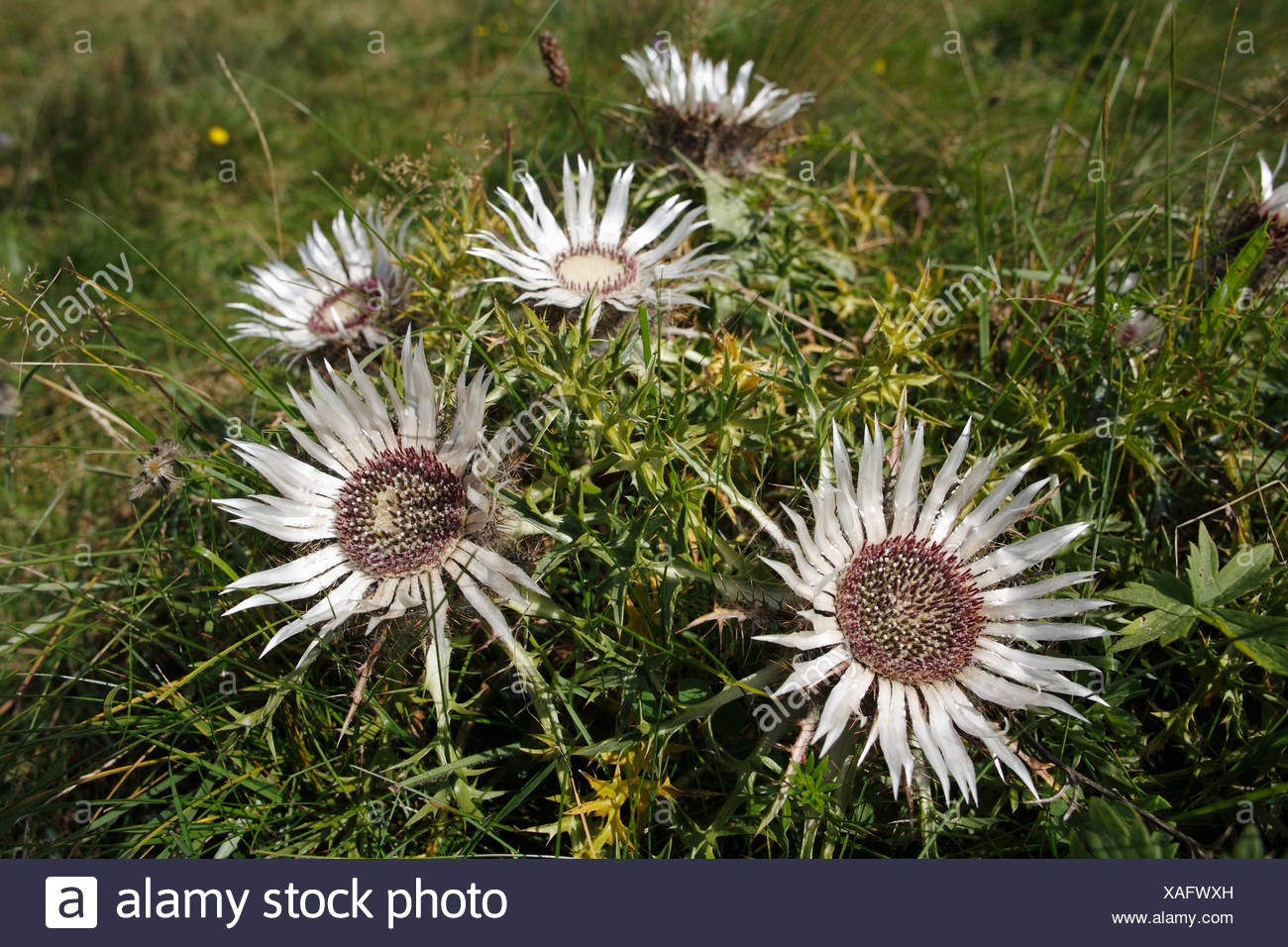 Stemless carline thistle, Dwarf carline thistle, Silver thistle, Carlina acaulis, Bavaria, Germany - Stock Image