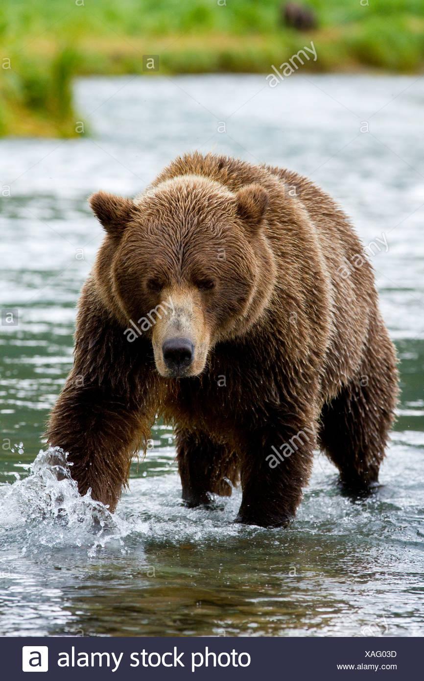 Coastal brown bear chasing salmon in Geographic Harbor, Katmai National Park & Preserve, Southwest Alaska, summer - Stock Image