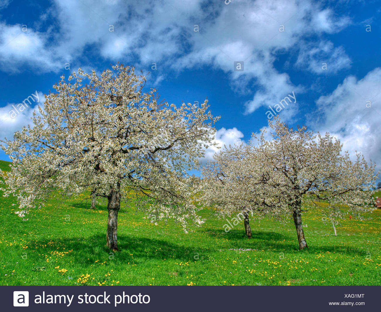 Spring, cherry trees, scenery, nature, horizontal format, day, meadow, clouds, trees, Gubel, canton Zug, spring, - Stock Image