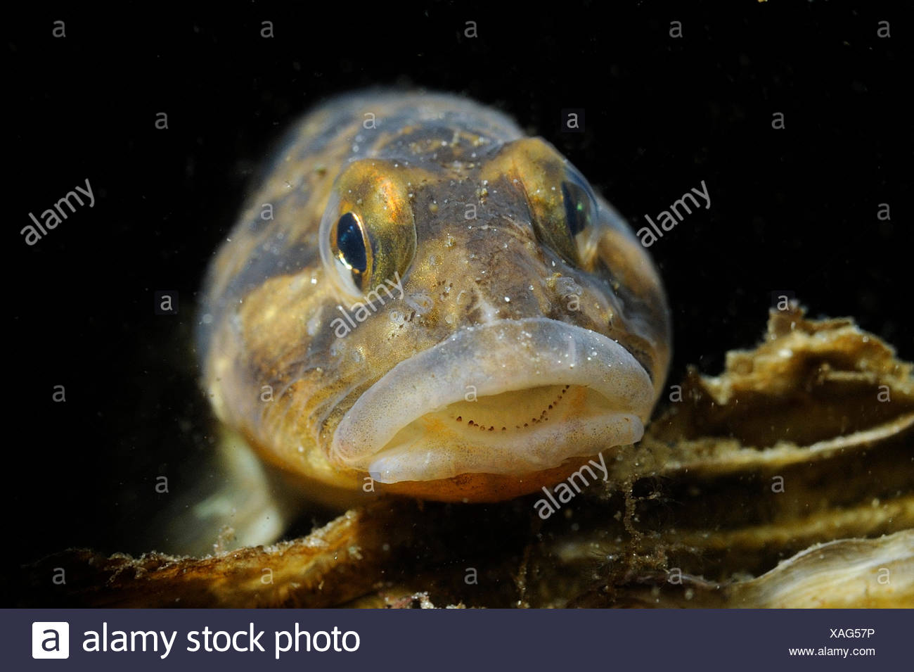 The Viviparous Eelpout (Zoarces viviparus) is notable for giving birth to live larvae - Stock Image