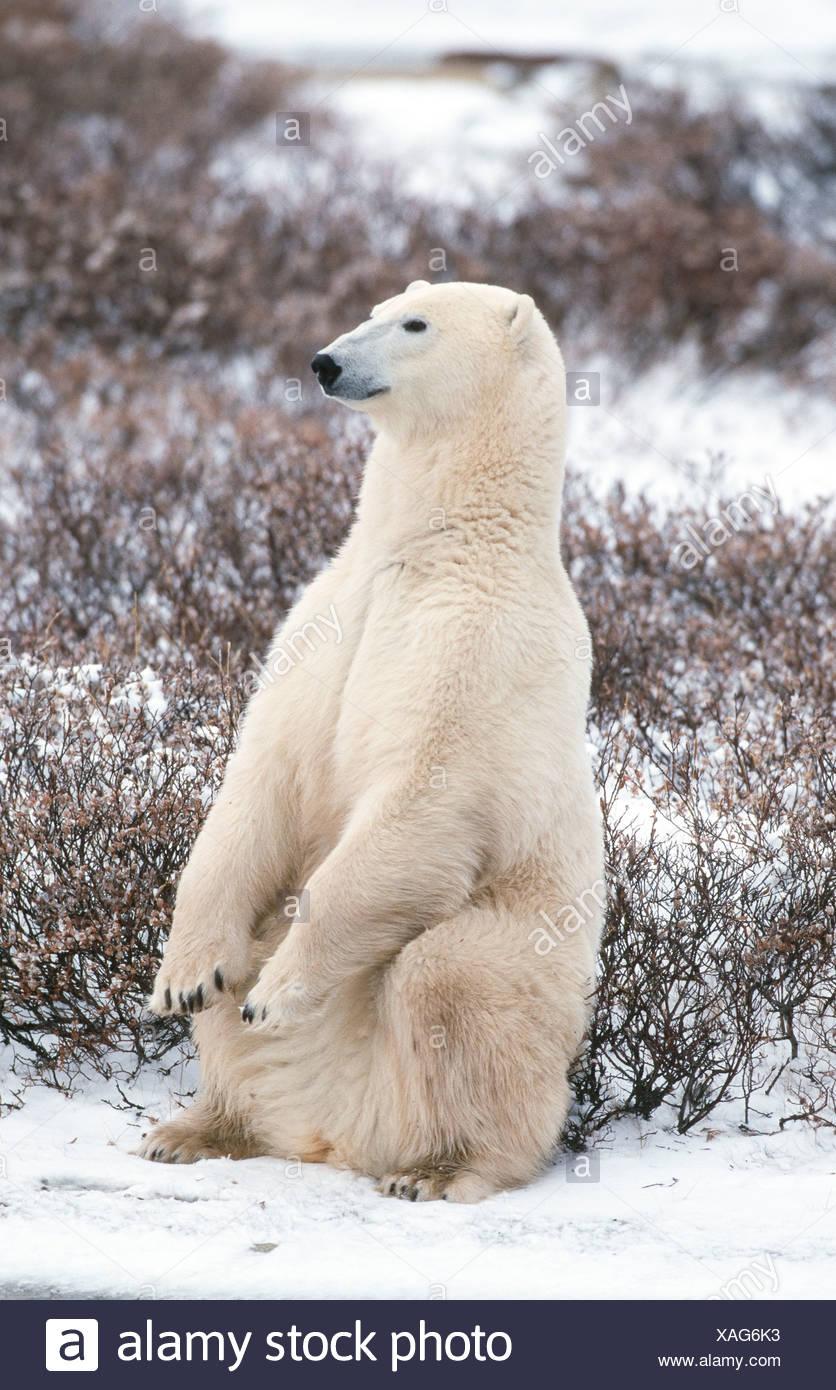 Canada. Churchill. Polar Bear(Thalarctos maritimus), laying in snow. - Stock Image
