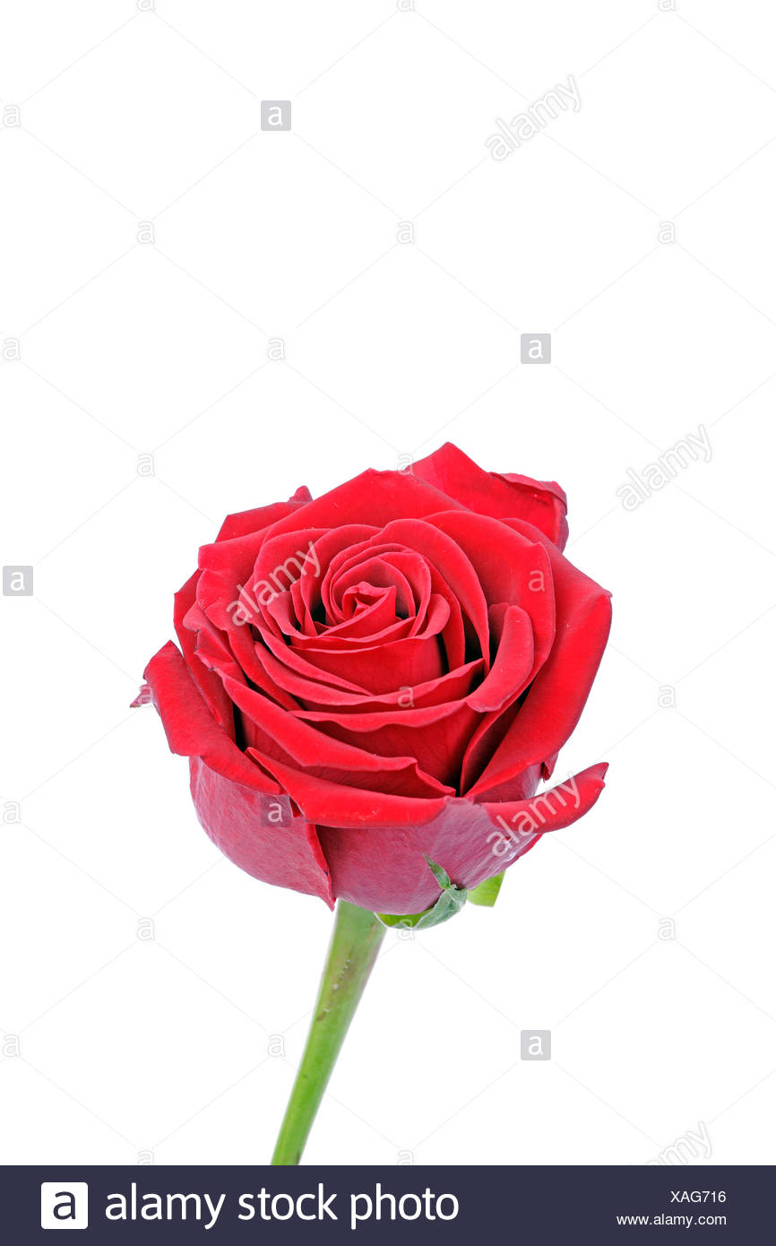 Red Rose (Rosa) - Stock Image