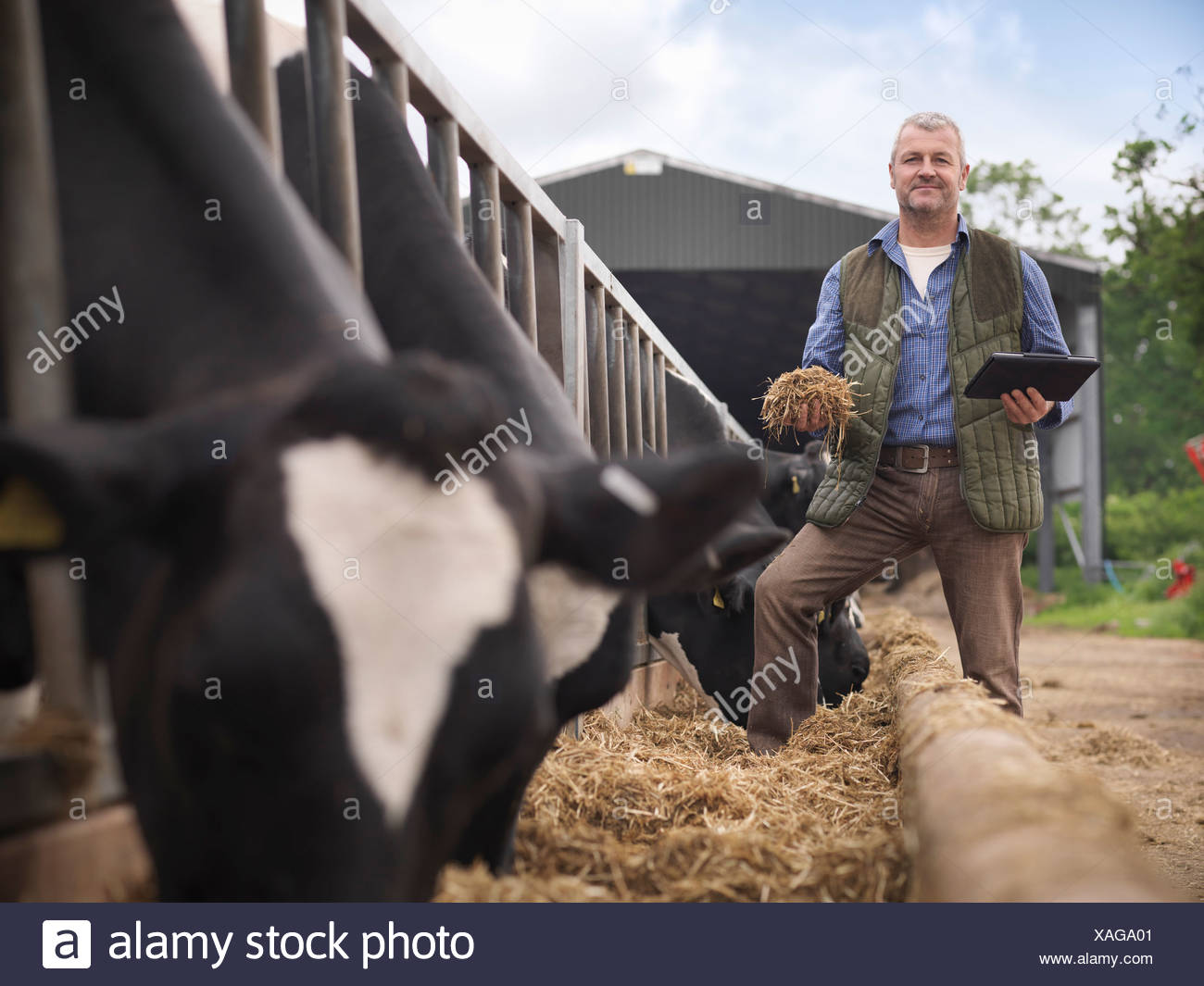 Farmer examining cow feed in barn - Stock Image