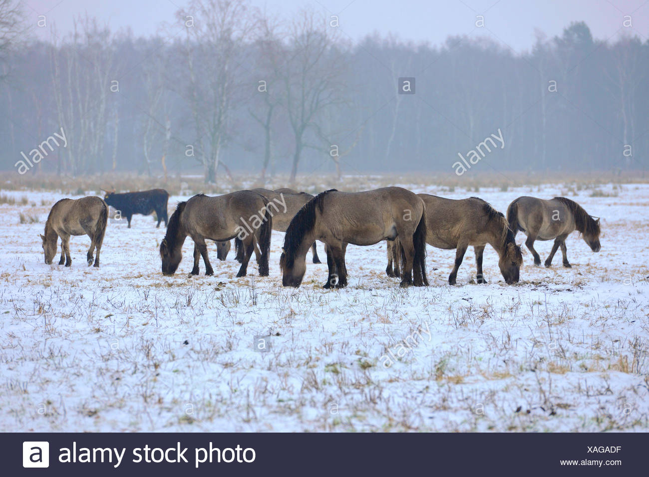 Konik horse (Equus przewalskii f. caballus), konik horses standing in a snowy meadow and grazing , Germany Stock Photo