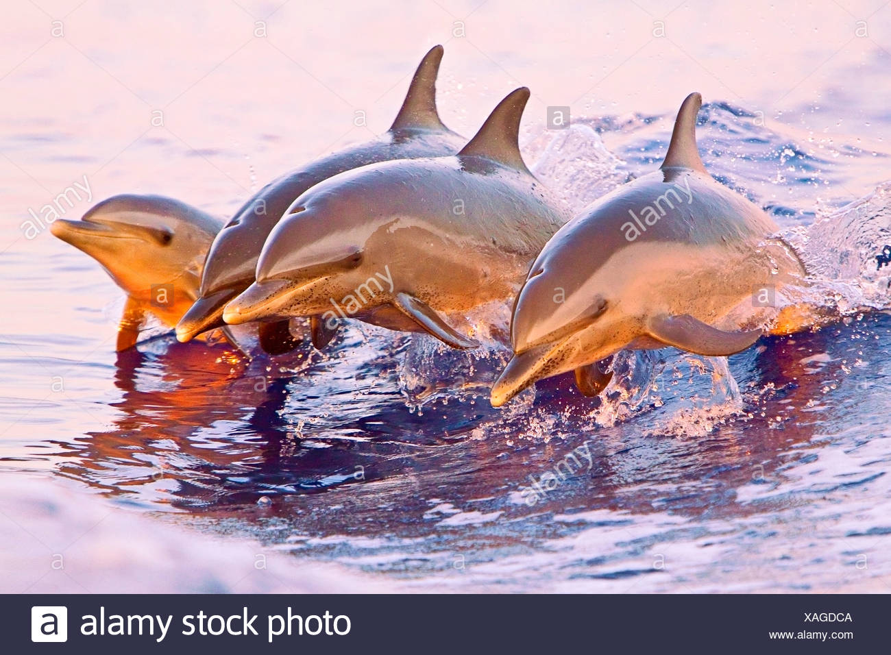 Pantropical spotted dolphins, Stenella attenuata, juveniles and baby, jumping out of boat wake at sunset - Stock Image