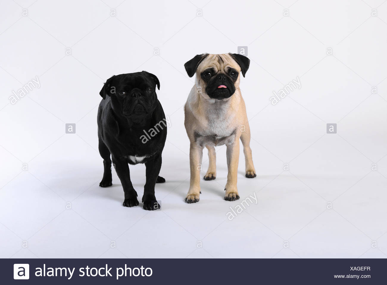 2 Isolated Domestic Animal Pet Background Dog Dogs Pugs Fatties Mops Pugs Fatties Pair Couple Portrait Couple Fo Stock Photo Alamy