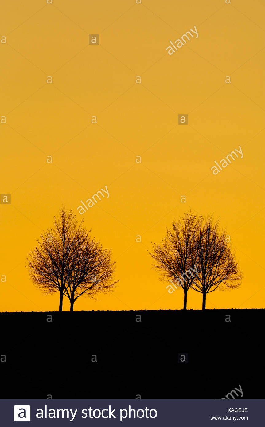 Linden or Lime trees (Tilia) set against an evening sky Stock Photo