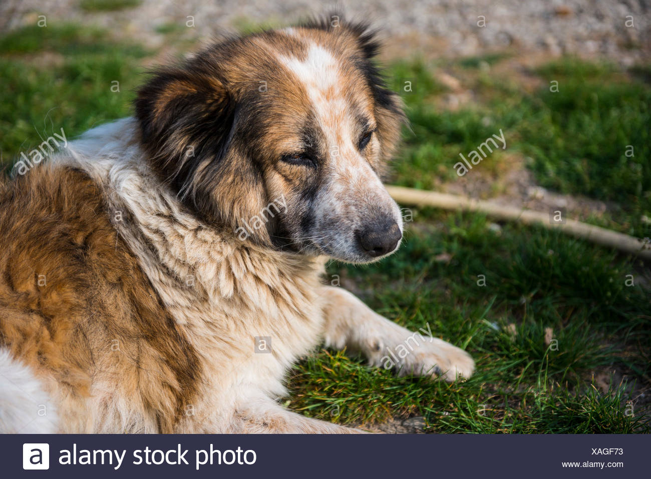 Italy, Tuscany, White and brown fur dog relaxing on a dirt road paying attention to something - Stock Image