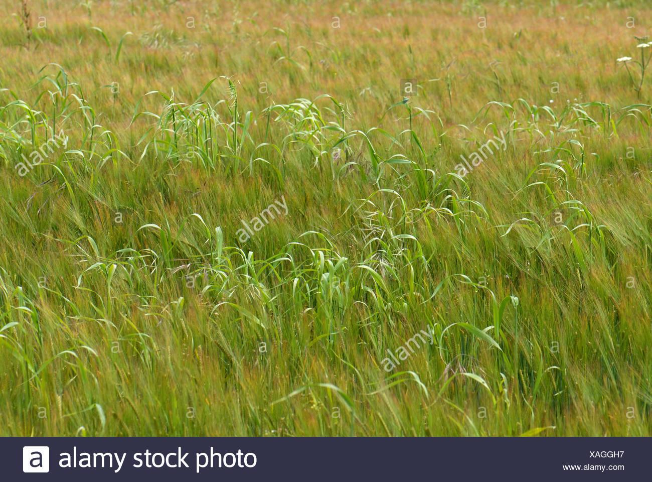 Wild oats Avena fatua beginning to flower in a weak barley crop in green ear Stock Photo