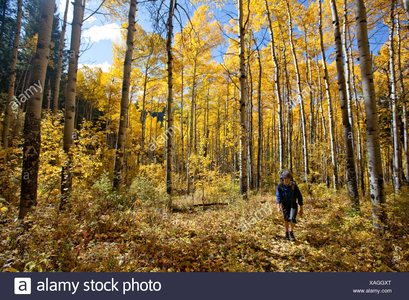 A male hikes through glowing Aspen trees on a sunny fall day in Colorado. - Stock Image