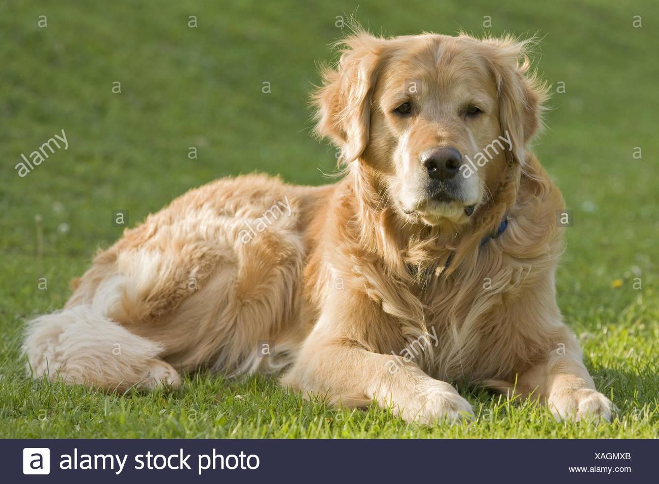 Dog, Golden retrievers, meadow, lie, - Stock Image