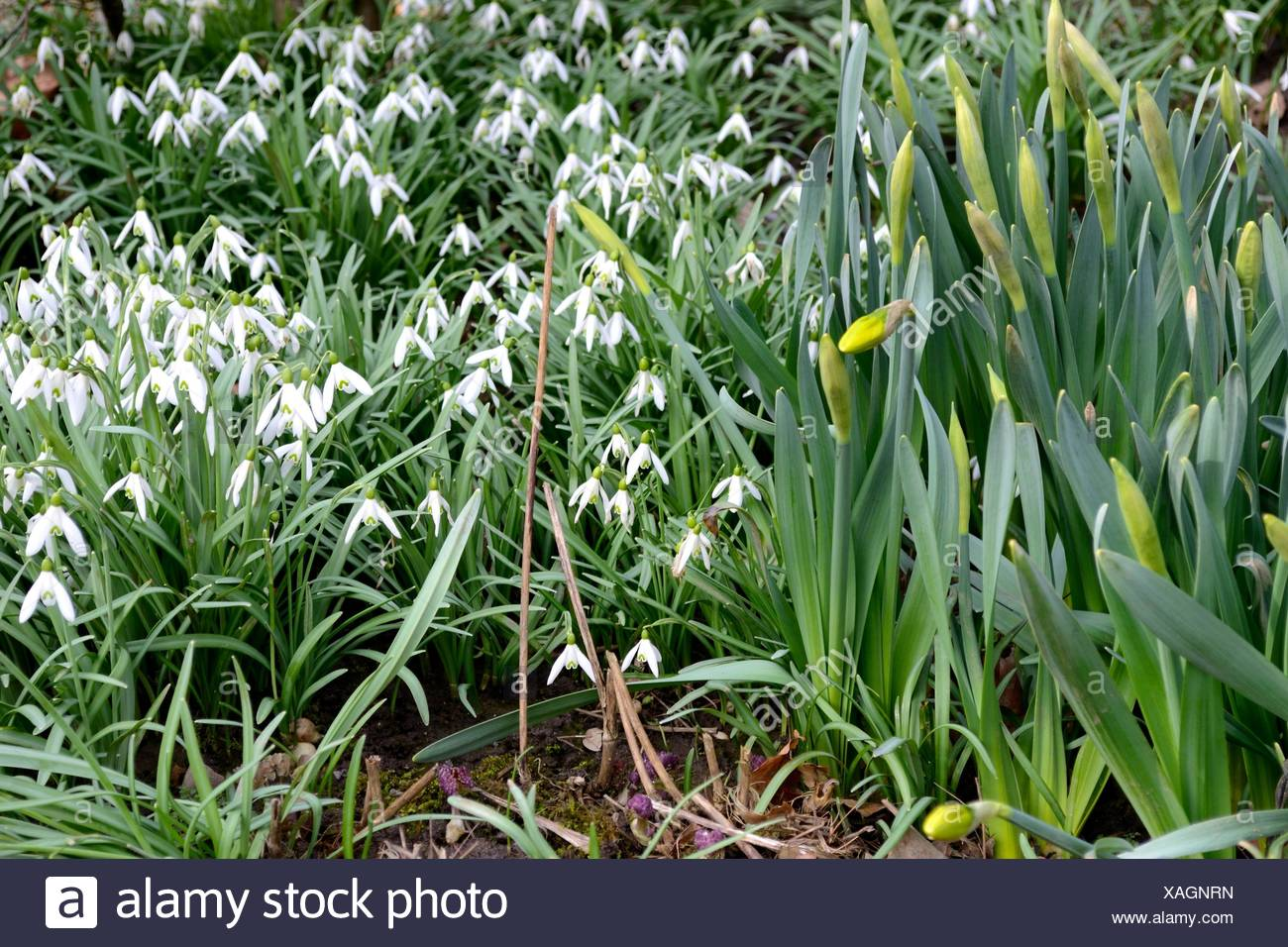 Garden Flower Plant Snowdrop Gardens Narcissus Daffodil