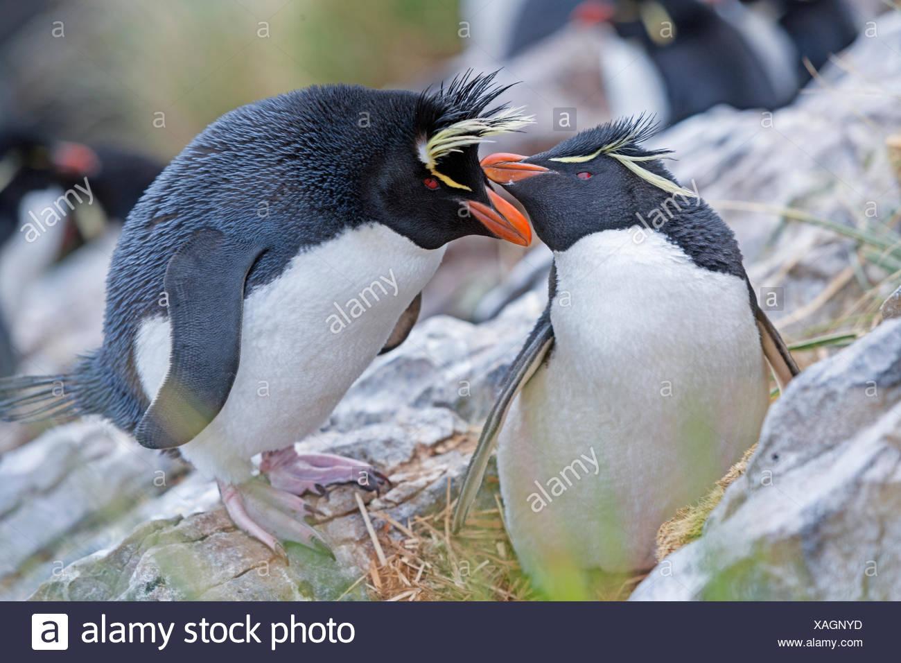 Rockhopper penguins (Eudyptes chrysocome), Falkland Islands, South Atlantic - Stock Image