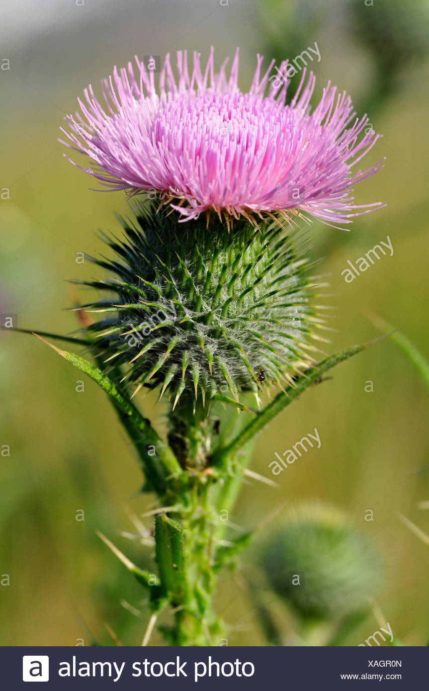 macro, close-up, macro admission, close up view, flower, plant, prickle, - Stock Image