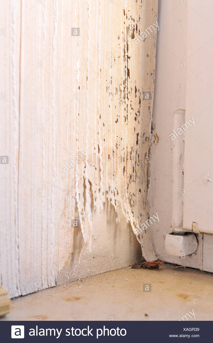 Mould on a wall and on wallpaper next to a window - Stock Image