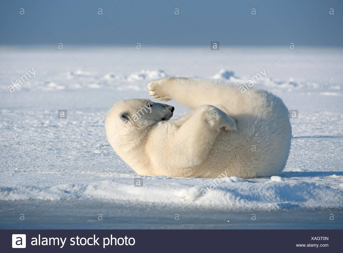 Polar bear (Ursus maritimus) young bear rolling around in the snow, on newly formed pack ice during autumn freeze up, Beaufort S - Stock Image