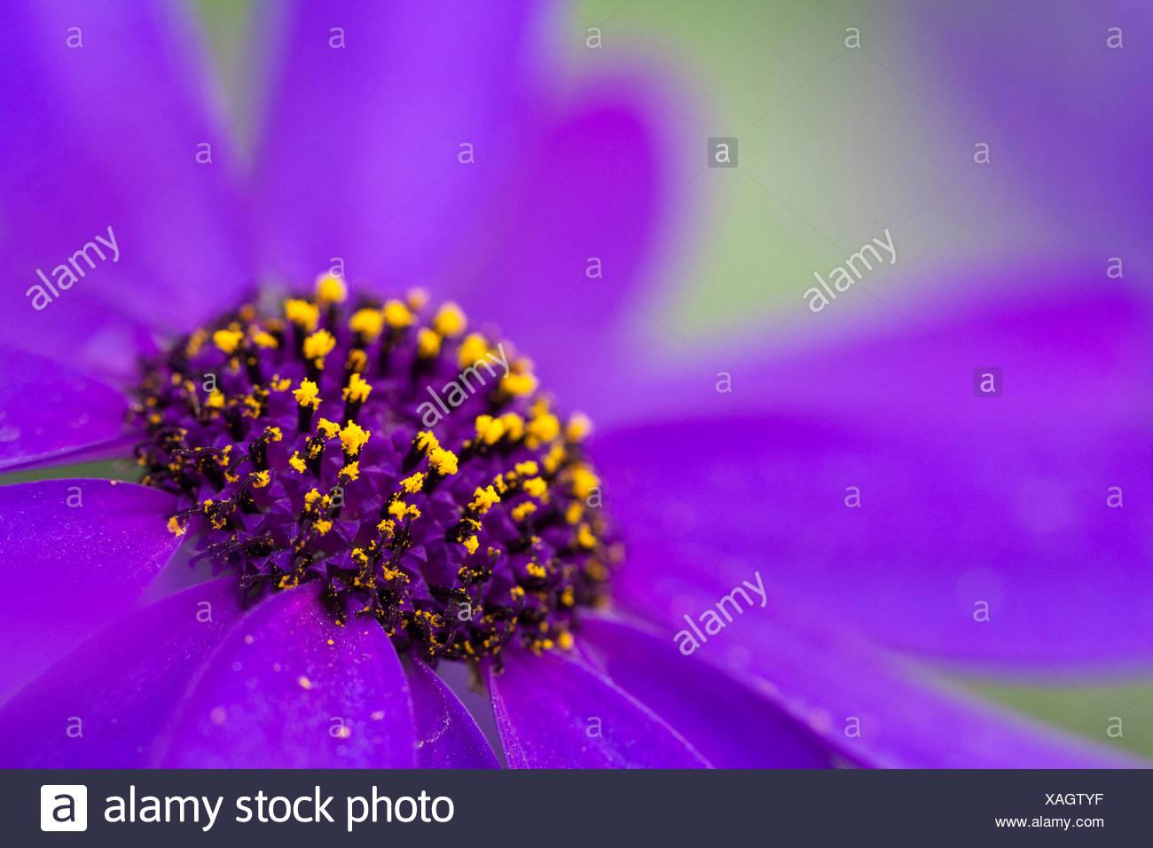 Cineraria (Pericallis x hybrida Senetti Deep Blue), detail of a flower - Stock Image