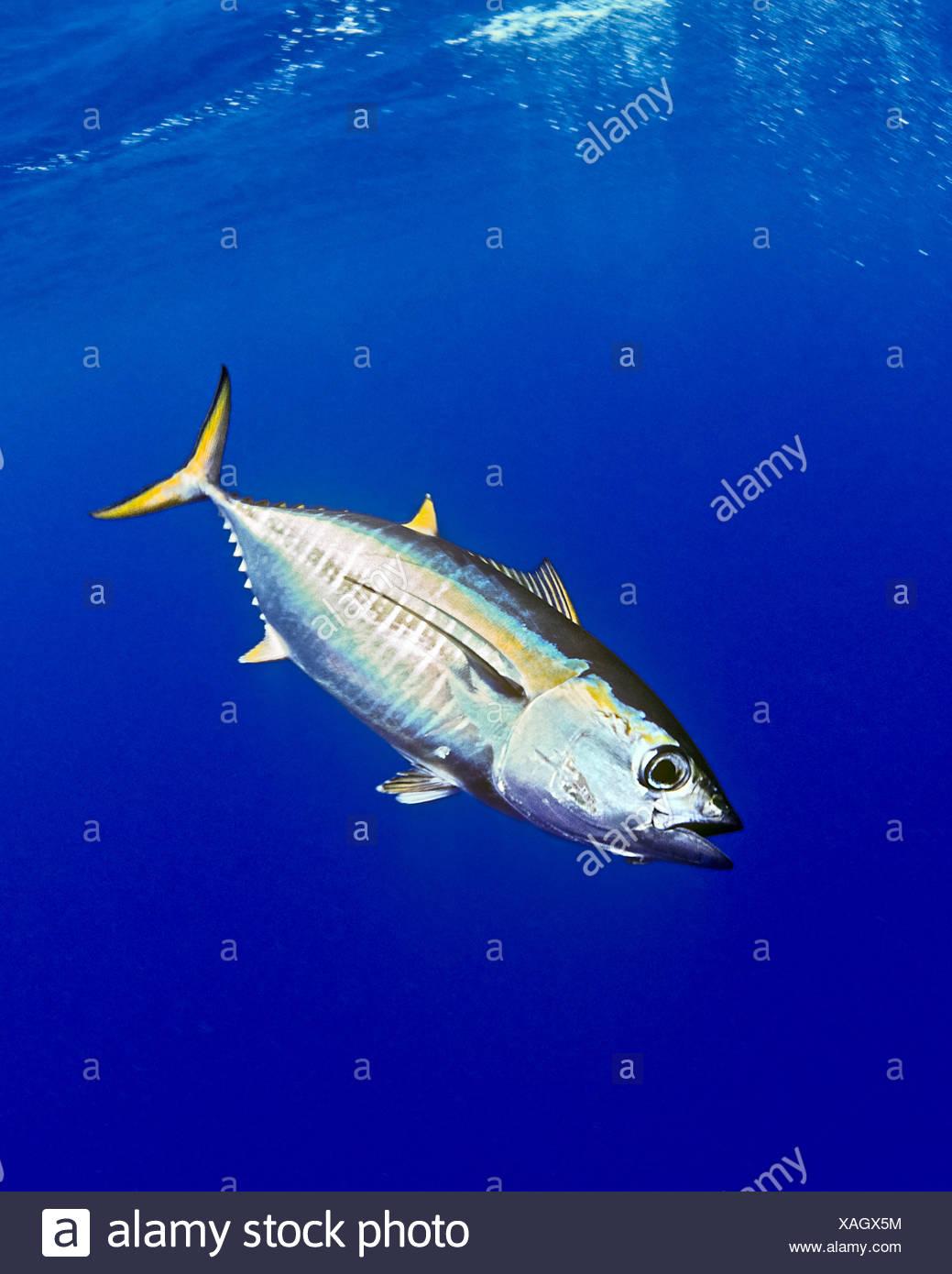 juvenile yellowfin tuna thunnus albacares big island hawaii usa stock image