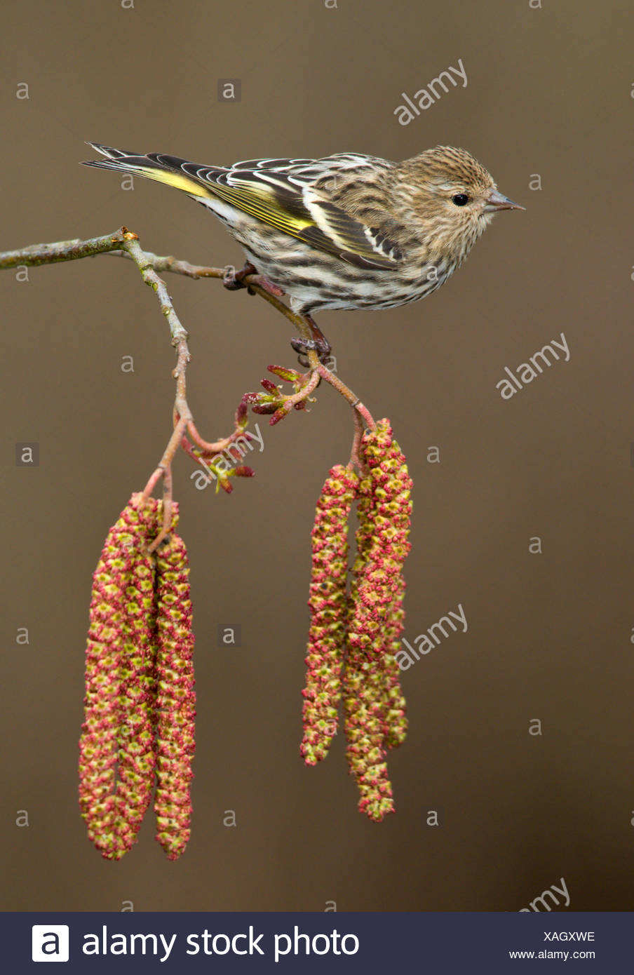 Pine siskin (Carduelis pinus) perched on Alder tree catkins in Victoria, Vancouver Island, British Columbia, Canada - Stock Image