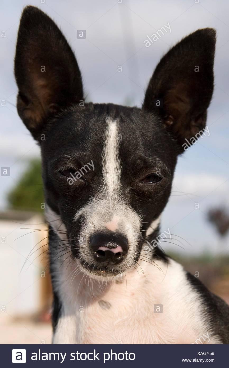 Retrato de perro ratonero valenciano stock photo - Stock uno alicante ...