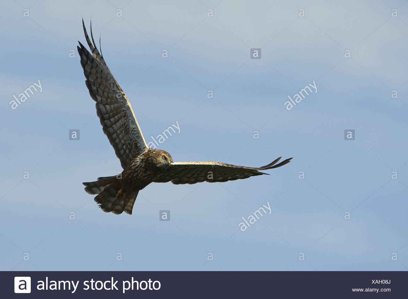 African Marsh Harrier (Circus ranivorus) adult, in flight, Godikwe, Okavango Delta, Botswana Stock Photo