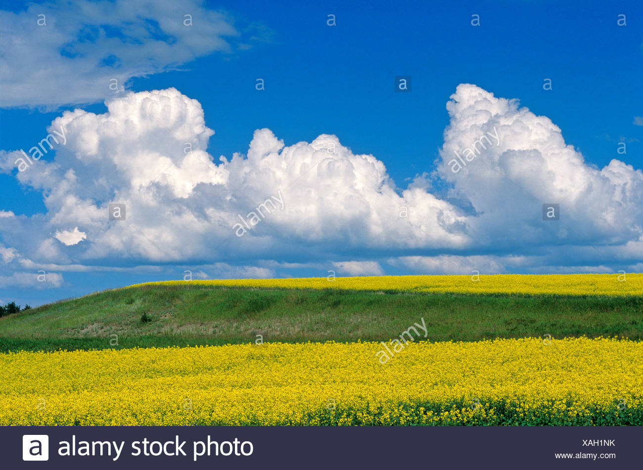 Developing cumulonimbus cloud buildup over canola fields near St. Leon, Manitoba, Canada. - Stock Image