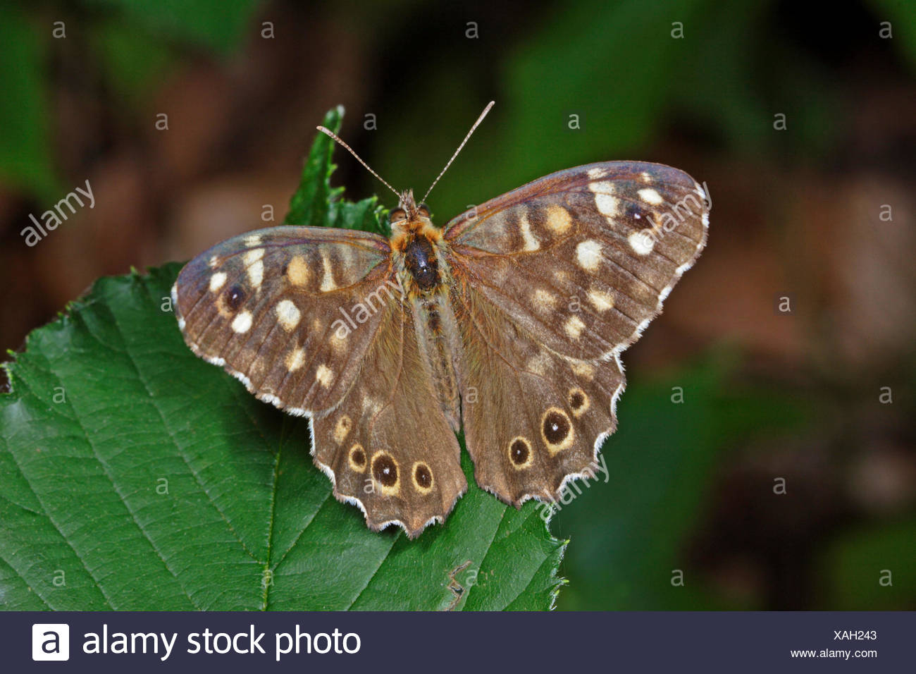 Speckled Wood (Pararge aegeria), on a leaf, Germany - Stock Image