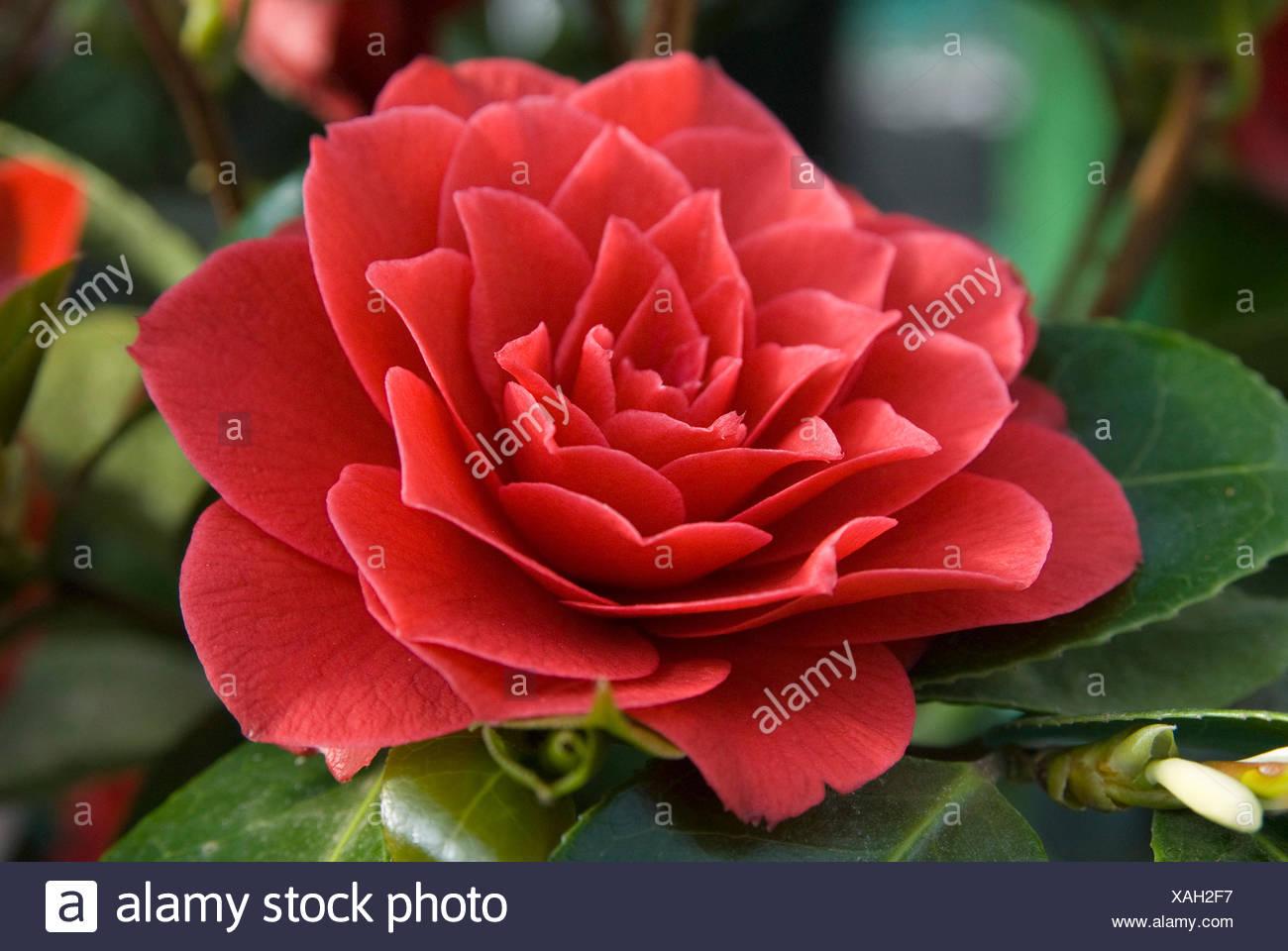 Reticulata Camellia Stock Photos & Reticulata Camellia ...