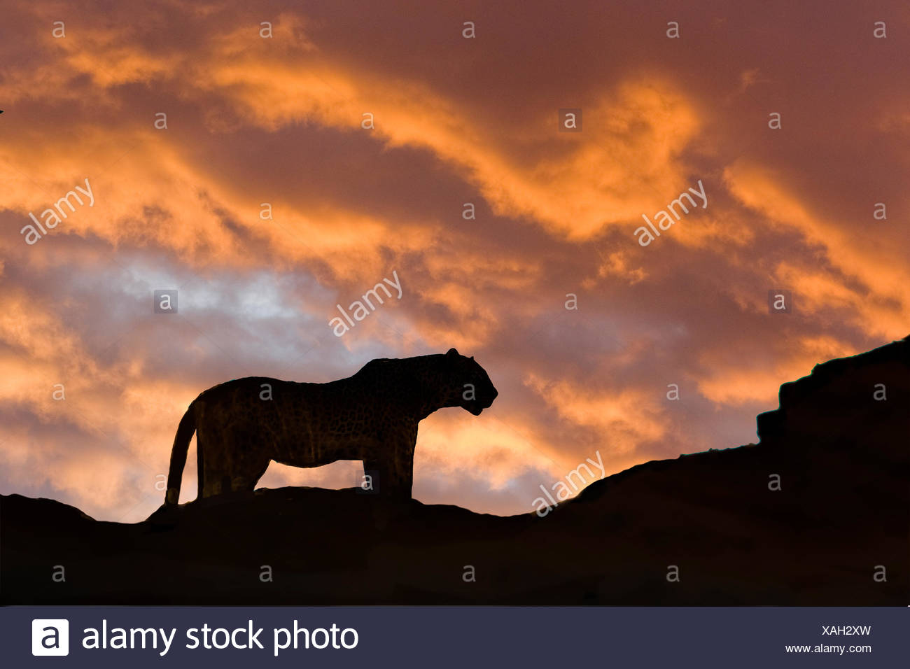 Leopard (Panthera pardus), Masai Mara Game Reserve, Kenya, East Africa - Stock Image