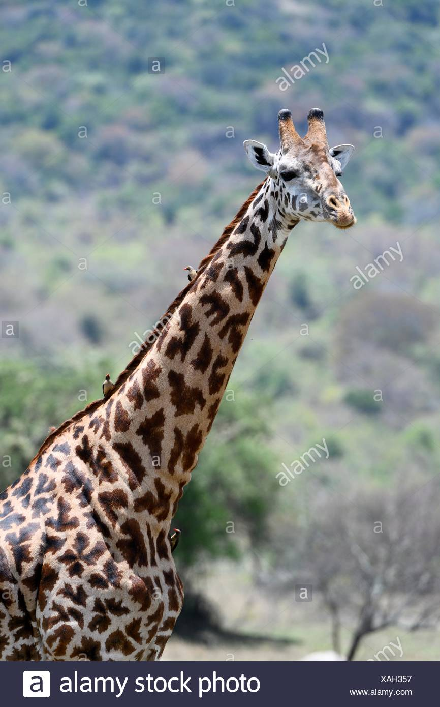 Portrait of Masai giraffe (Giraffa camelopardalis tippelskirchi) with Redbilled oxpeckers (Buphagus erythrorhynchus) on her neck, Akagera National - Stock Image