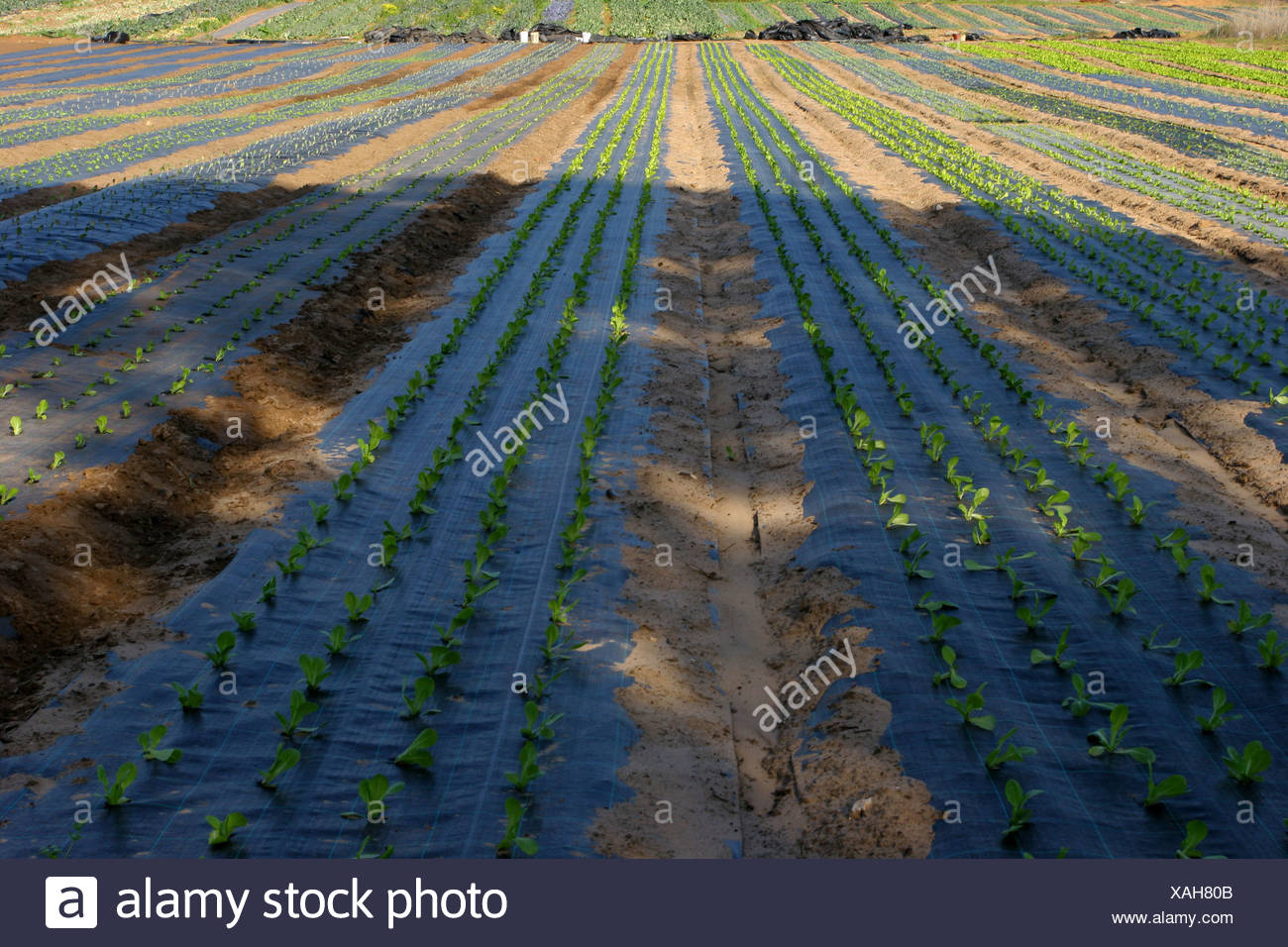 Vegetable plants are being grown in a protective environment of plastic sheets - Stock Image