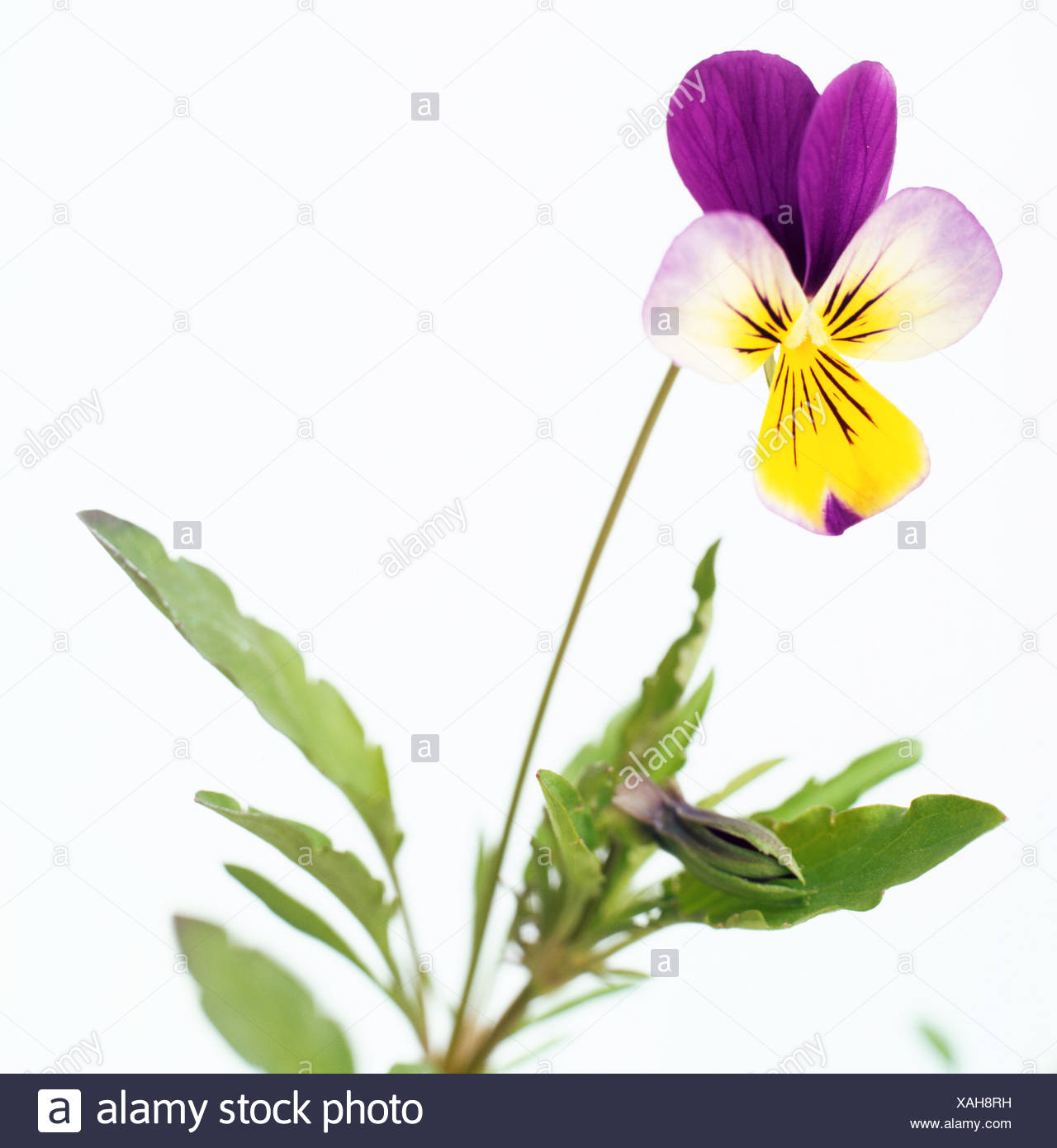 Viola tricolor, heartsease, wild pansy, small, tri coloured, pansy like flower with blue, yellow, white, - Stock Image