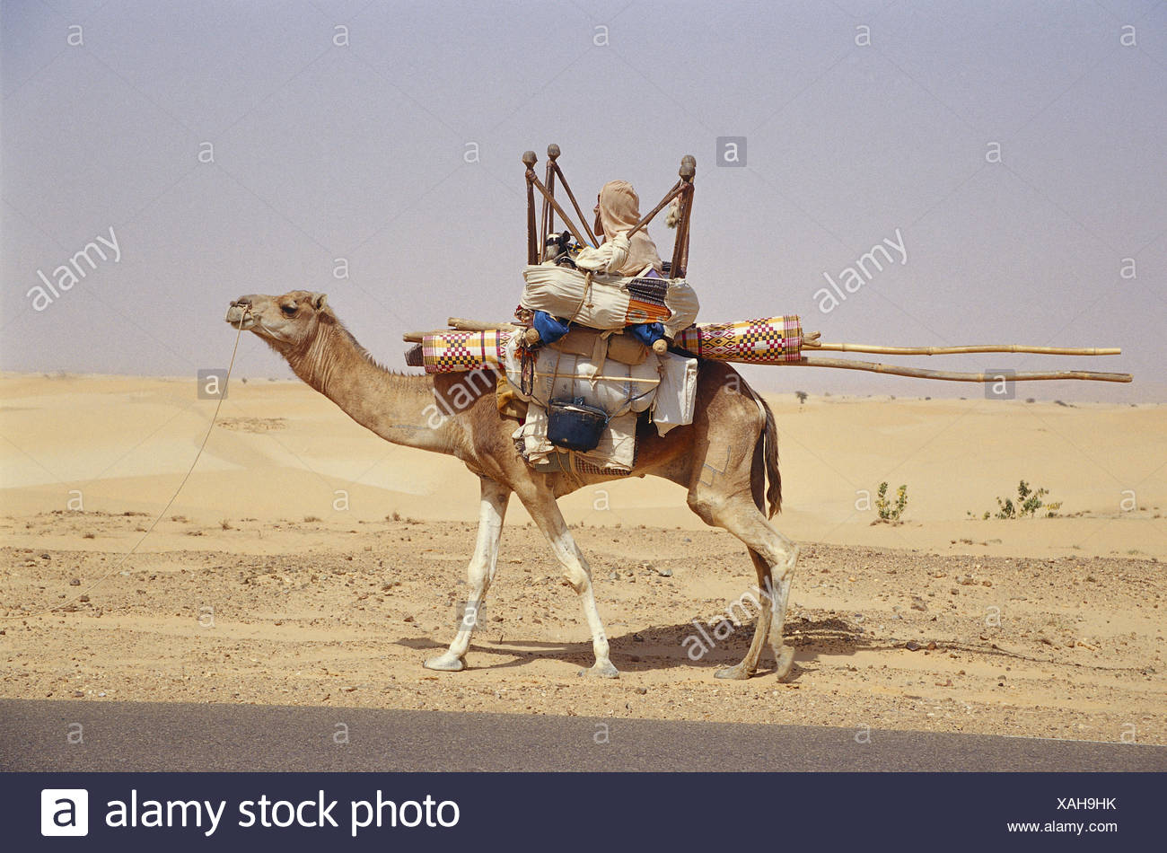 Mauritania, camel, bleed, household, Africa, West Africa, scenery, desert, person, local, Mauritanian, African, animal, benefit animal, charge, nomad, Sand desert, - Stock Image