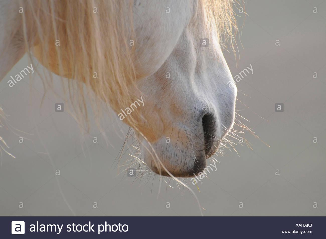 Lusitano, stallion - Stock Image