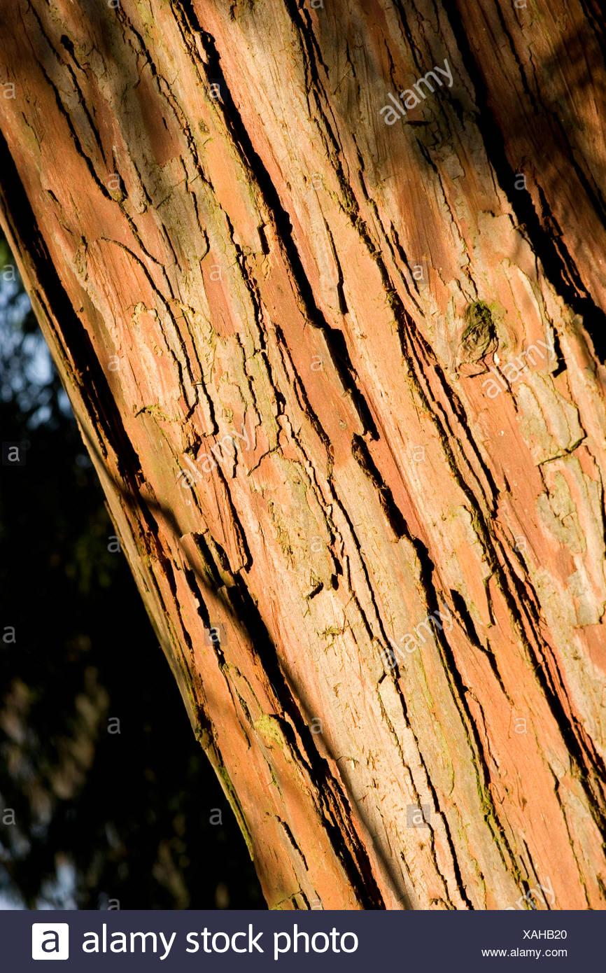 incense cedar, Californian white cedar (Calocedrus decurrens), bark - Stock Image