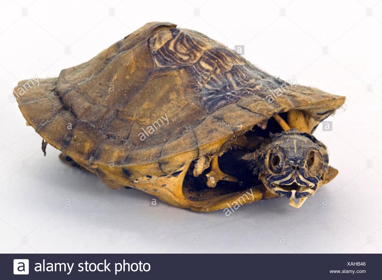 Tortoise Skeleton Stock Photos & Tortoise Skeleton Stock Images - Alamy