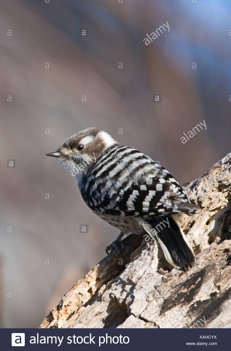 Japanese Pygmy Woodpecker Dendrocopos kizuki nippon Hokkaido Japan - Stock Image