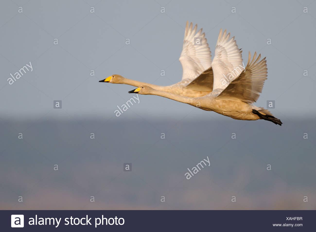 Whooper swans (Cygnus cygnus), flying breeding pair, Hornborgasjoen, Vaestergoetland, Sweden, Scandinavia, Europe - Stock Image