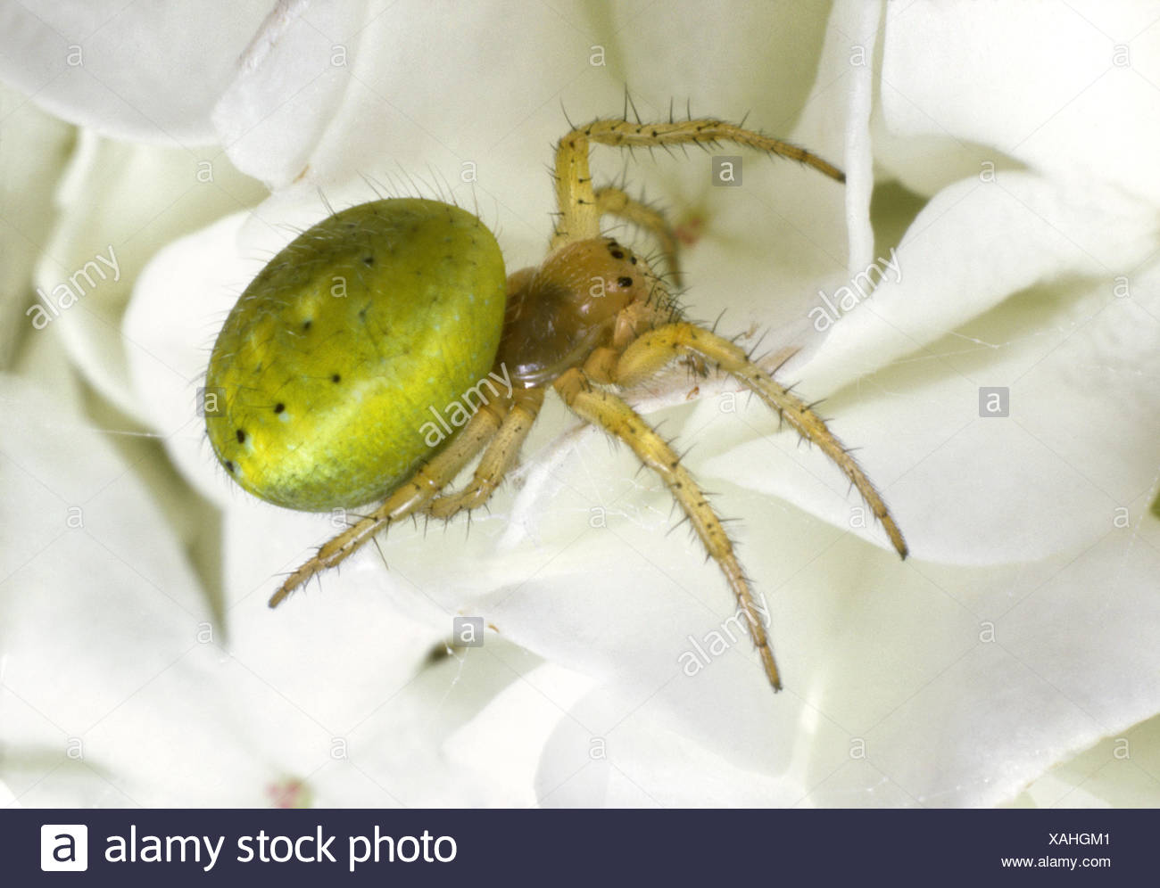Green Orb-weaver Spider - Araniella cucurbitina - Stock Image