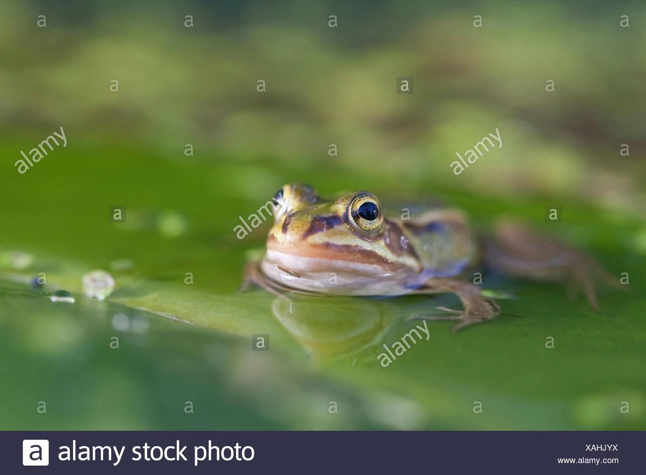 European edible frog, common edible frog (Rana kl. esculenta, Rana esculenta, Pelophylax esculentus), swimming, Germany - Stock Image