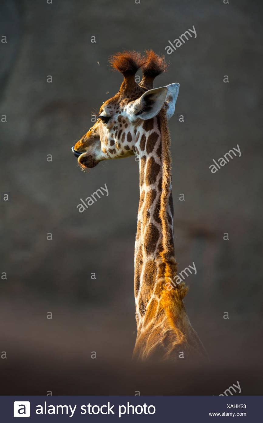 Rothschild´s giraffe (Giraffa camelopardalis rothschildi), Kenya, Africa - Stock Image
