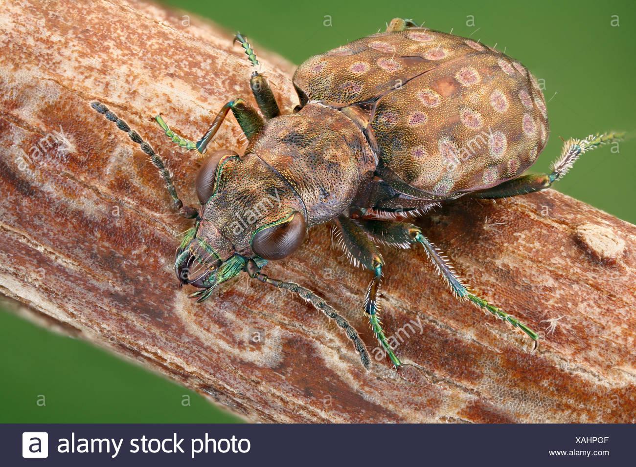 Ground beetle Elaphrus riparius on a twig, extreme close-up - Stock Image