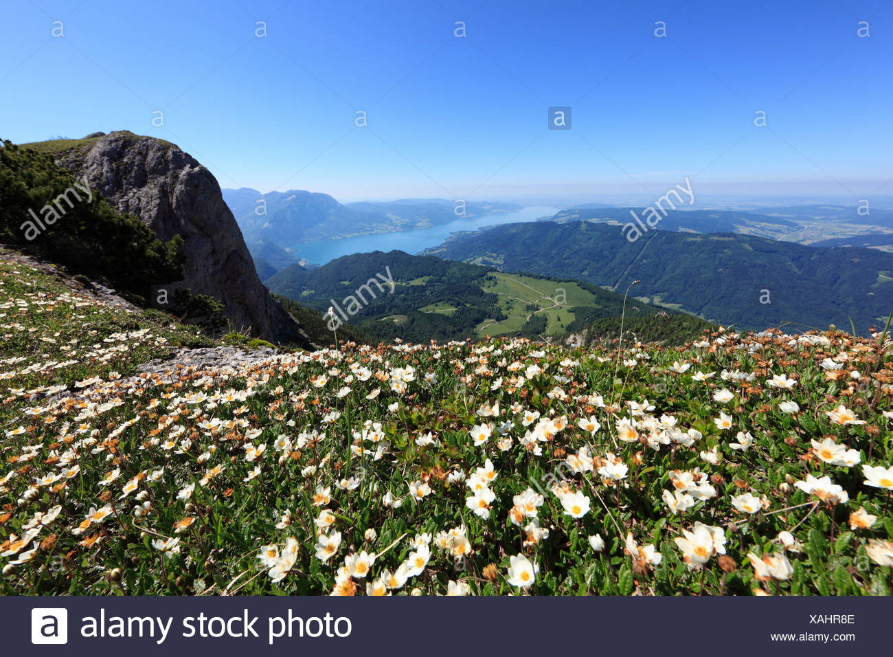 White dryas (Dryas octopetala), Schafberg mountain, in the back Attersee lake, Salzkammergut region, Land Salzburg state, Austr Stock Photo