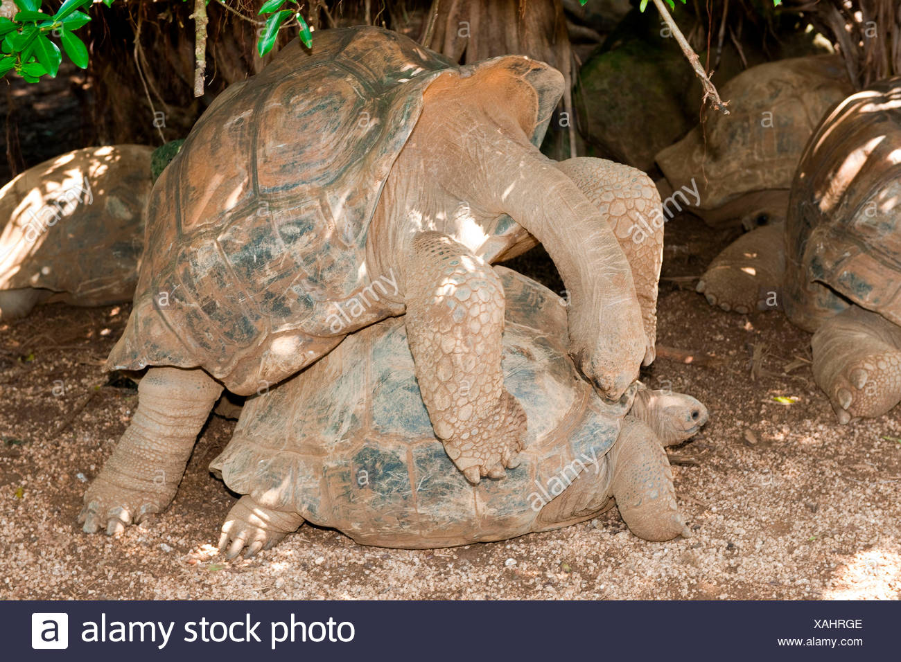 Aldabra giant tortoise, mating, Mauritius, Africa, Indian Ocean /  (Aldabrachelys gigantea) Stock Photo