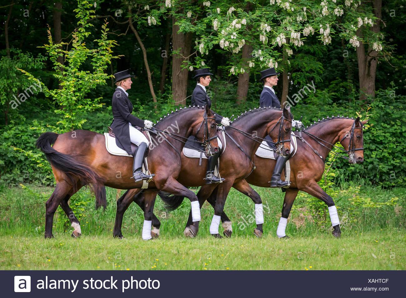 Trakehner Pas de Trois bay horses trot Germany - Stock Image