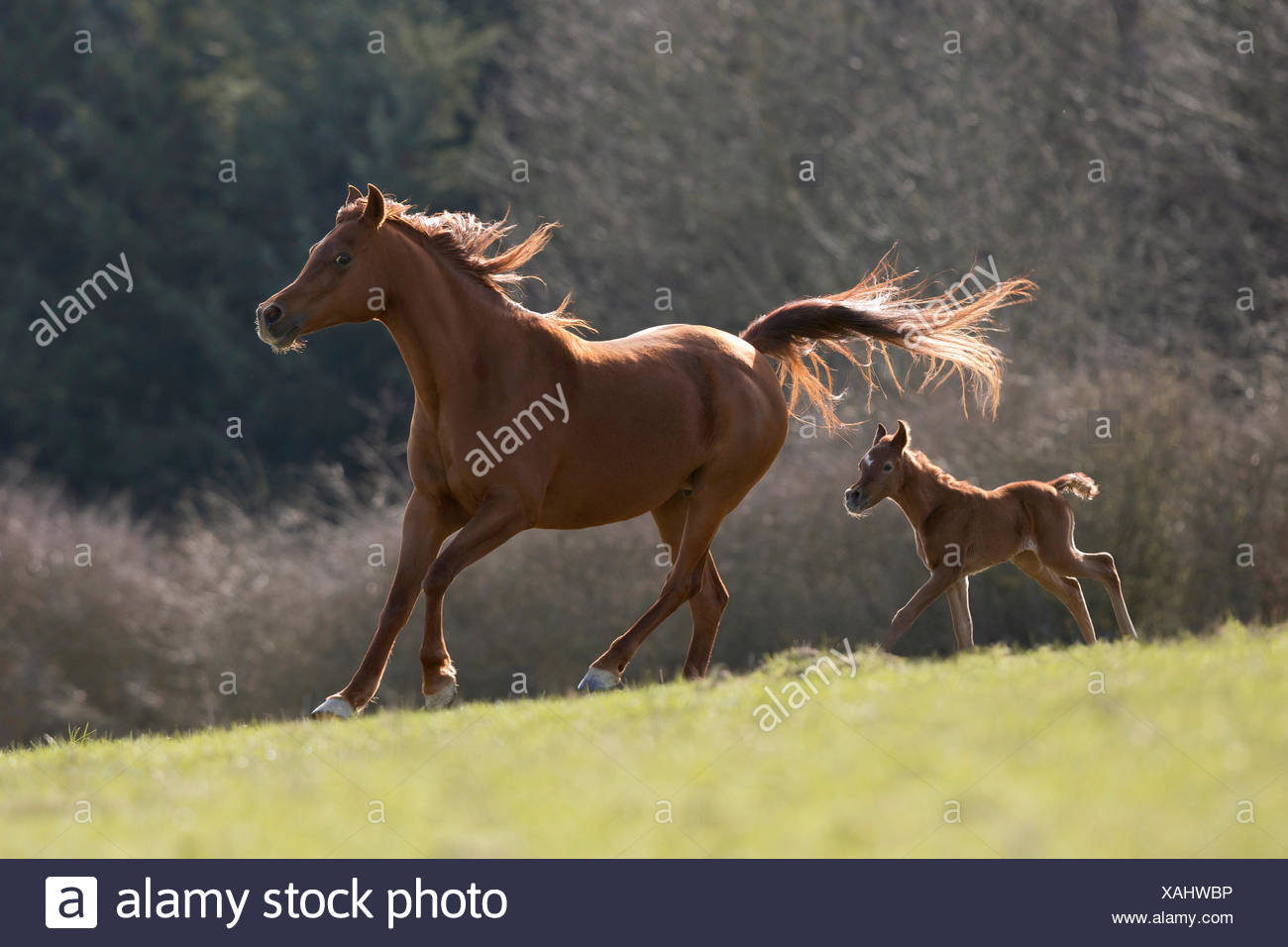 Brown Arabian mare with colt galloping - Stock Image